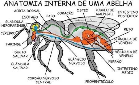 anatomia-da-abelha-4