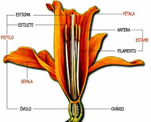 Estrutura da Flor das Angiospermas