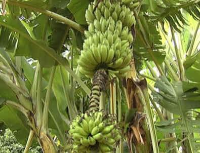 Como se planta bananeira