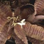 Cryptanthus zonatus Beer