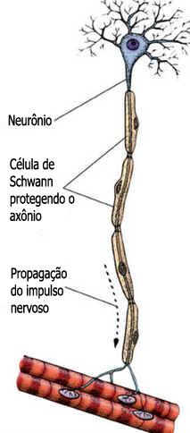 Células de Schwann