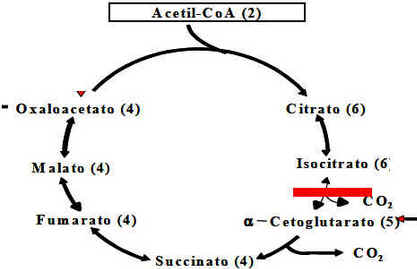 Ciclo de Krebs