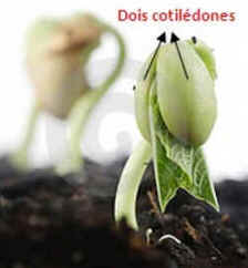 Cotilédone