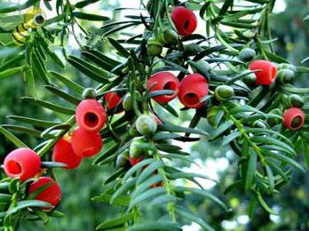 Arilo vermelho em volta da semente de uma espécie do gênero Taxus