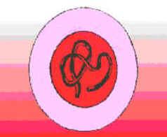 Telófase