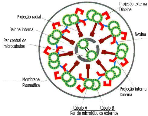 Cílios e Flagelos