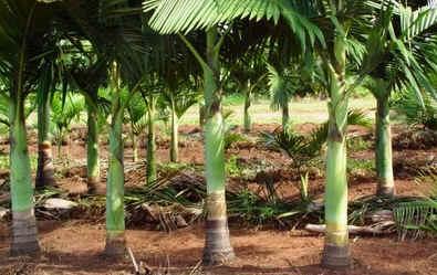 Palmito palmeira real