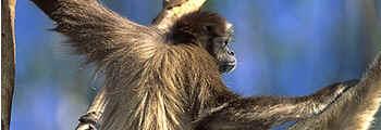 Mono-Carvoeiro