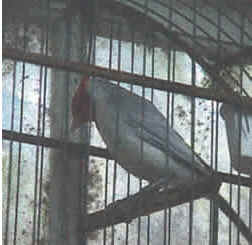 Cardeal Vermelho