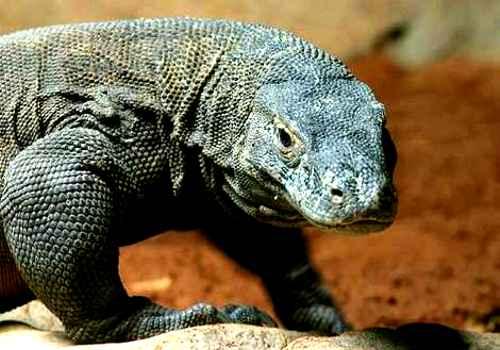 Dragão de Komodo