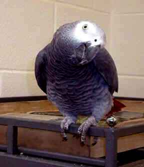 Papagaio Cinza