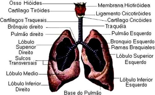 Pulmões