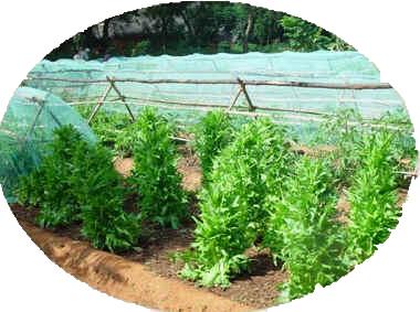 Porta-sementes de alfaces