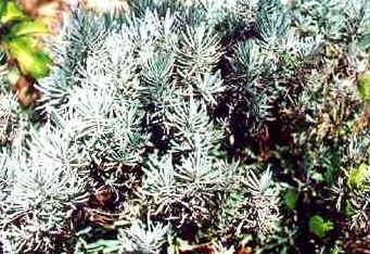 Alfazema - Lavandula officinalis