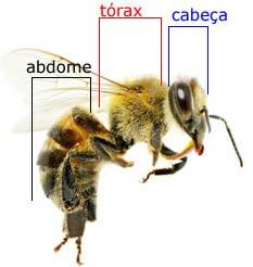 anatomia-da-abelha-1