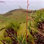 Vriesea neoglutinosa Mez