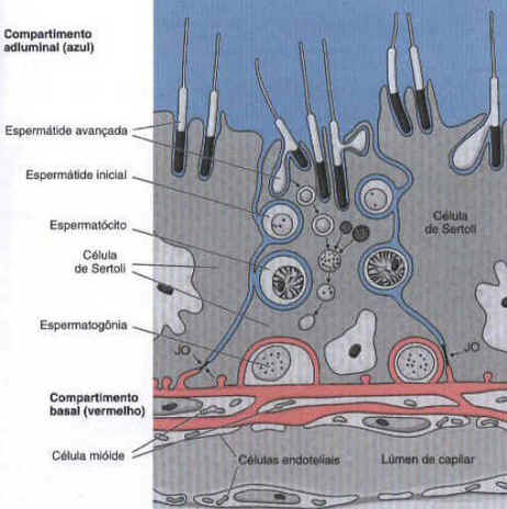 Células de Sertoli