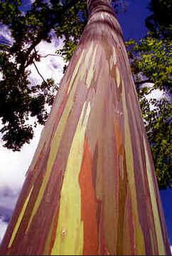Eucalipto Arco-Íris