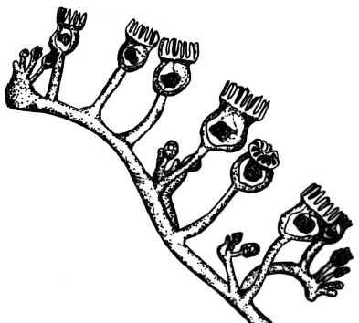 Entoprocta