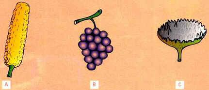 Fruto