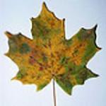 Folhas secas da Noruega de bordo (Acer platanoides)