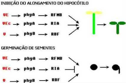 Fotomorfogênese