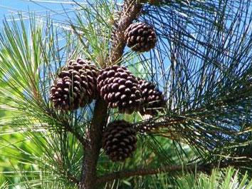 Estróbilos de pinheiro, onde as sementes ficam dispostas.
