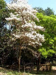 Ipê-Branco