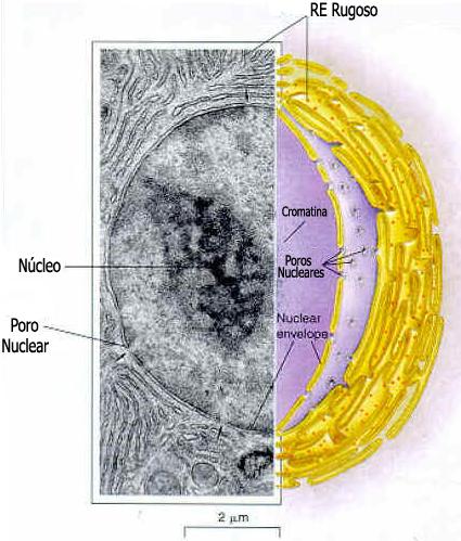 Nucléolo