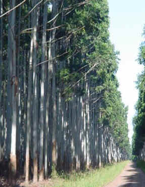 Pinus