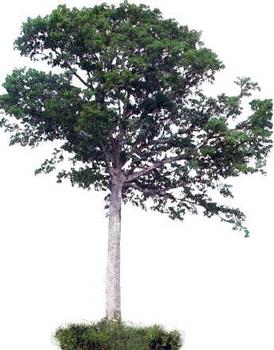 Sumaúma