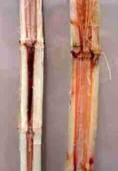 Doenças da Cana-de-Açúcar