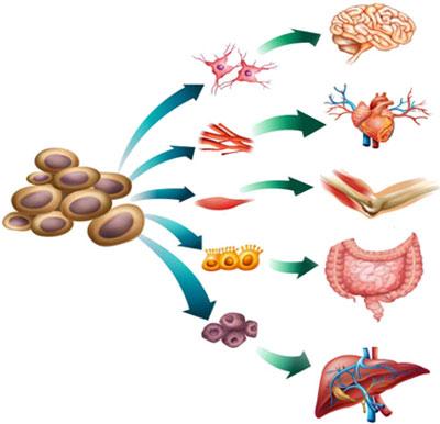 diferenciacao-celular-1