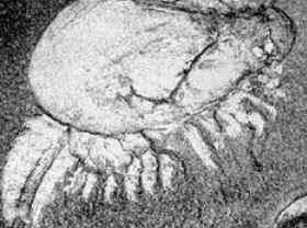 Período Cambriano