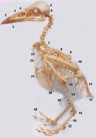 Esqueleto das Aves