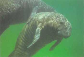fauna fluvial reina soberano o herbívoro peixe-boi