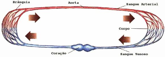Sistema Circulatório das Aves