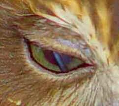 Sistema Nervoso das Aves