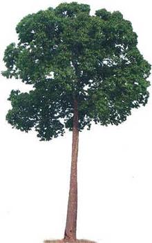 Castanha-do-Pará
