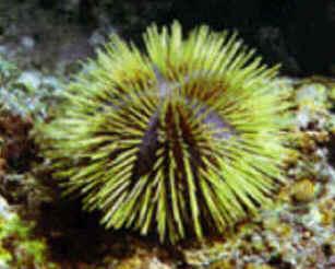 Classe Echinoidea