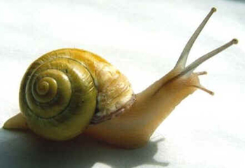Classe Gastropoda