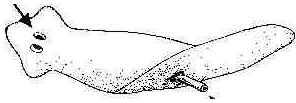 Filo Platelmintos