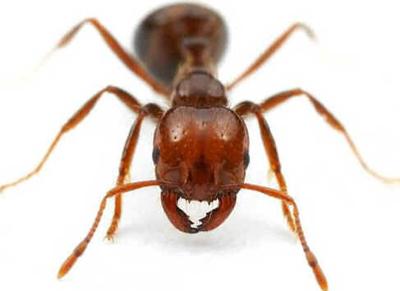 Formigas Carnívoras