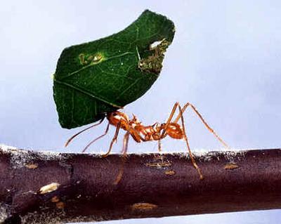 Formigas Cortadeiras