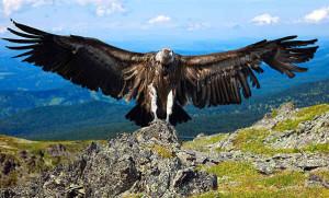 """Condor13 300x181 - Condor dos Andes - O """"Deus Condor"""""""