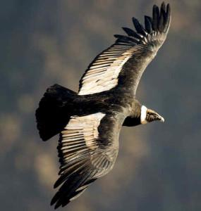 """Condor8 285x300 - Condor dos Andes - O """"Deus Condor"""""""