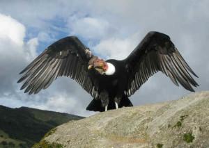 """Condor9 300x213 - Condor dos Andes - O """"Deus Condor"""""""
