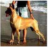 Dog Alemão