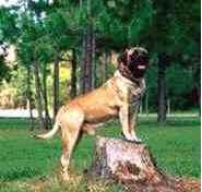 Mastiff Inglês
