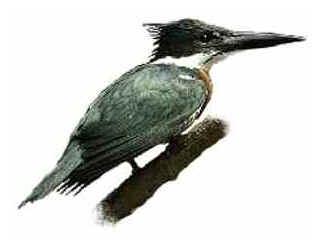 Martim Pescador Verde